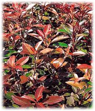 Arbustes Persistants Photinia Red Robin